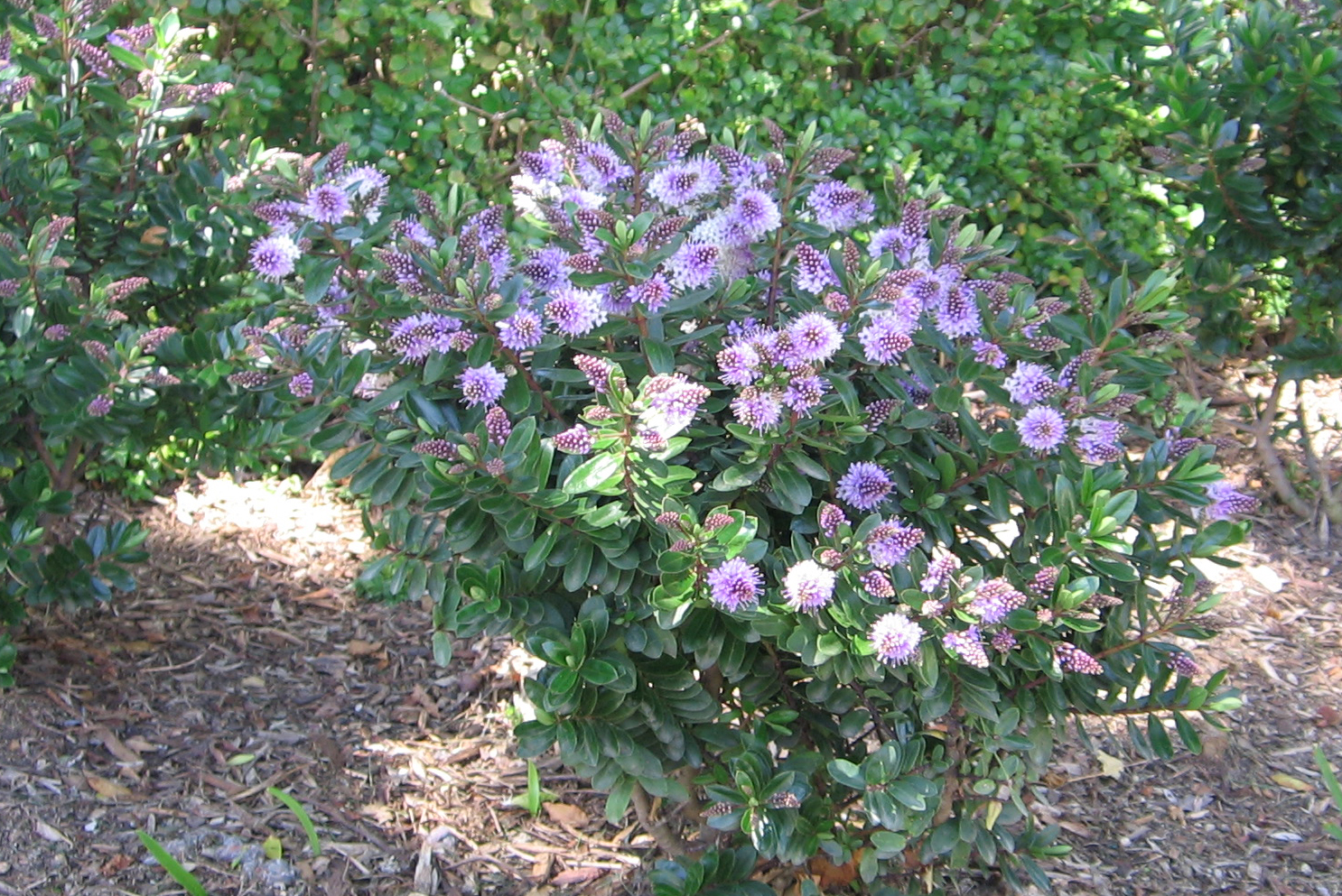 Plant profile hebes associated group for Hebe pianta