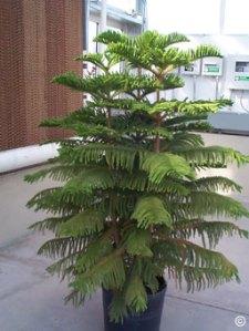 Replant Christmas Tree